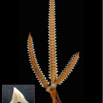 【画像】『サメの歯』で作った武器、めっちゃくちゃ強そうw